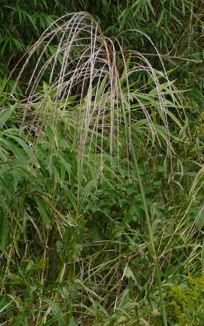 Susuki, beloved weed in autumn